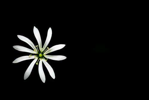 Sternmiere (Stellaria sp.)