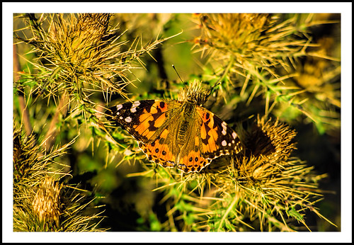 colorado butterfly epsonv500 geotagged tomboybasin