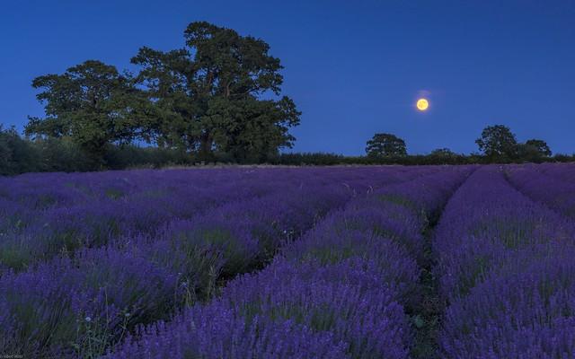 *Somerset Lavender @ Blue Hour*