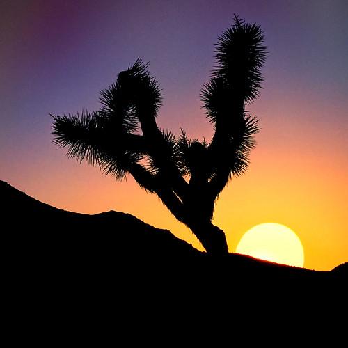joshuatreenationalpark joshuatree sunset sun silhouette
