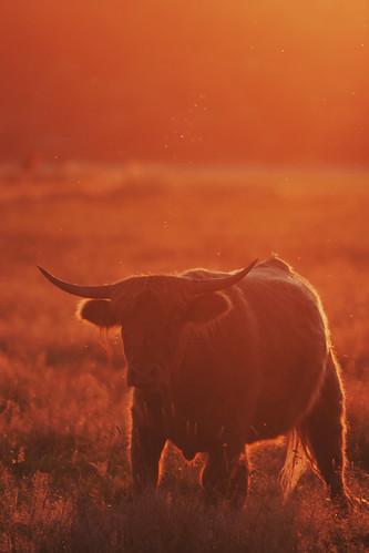 cattle cow rind heck beeden biotop saar saarland canonef400mmf56lusm canon 400mm 56 l eos 40d sun sunset