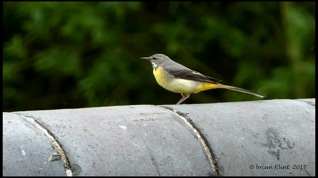 Grey Wagtail by the road