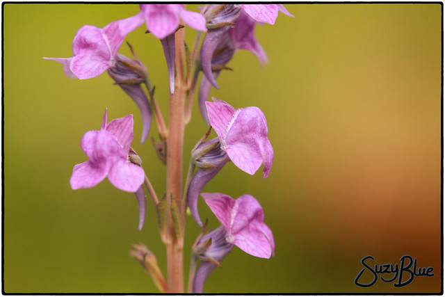 Purlple Toadflax by my pond :)
