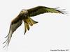 Red Kite by Tim Barker - in North Devon
