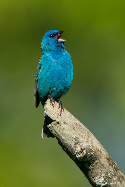Indigo Bunting singing his heart out..