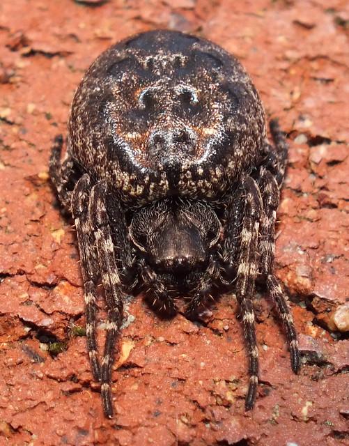 Walnut Orb-weaver Spider (Nuctenea umbratica) female