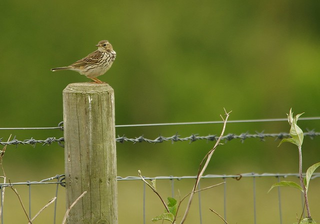 meadow pipit (2)