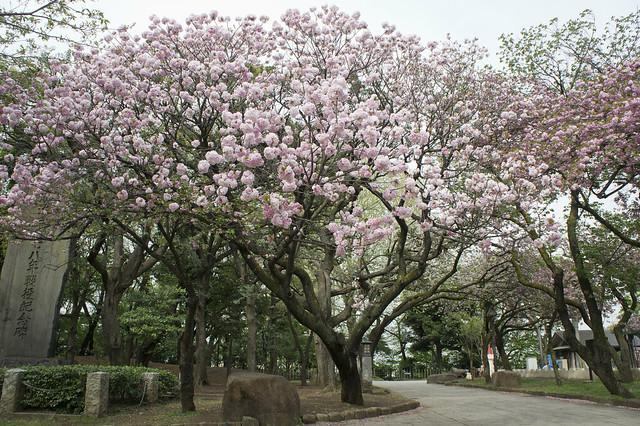 板橋界隈 - 桜 Cherry blossoms