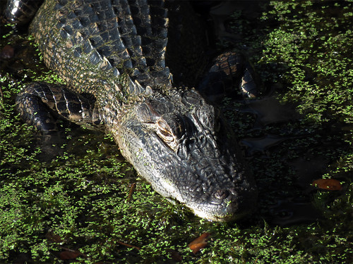 American Alligator | by magnificentfrigatebird