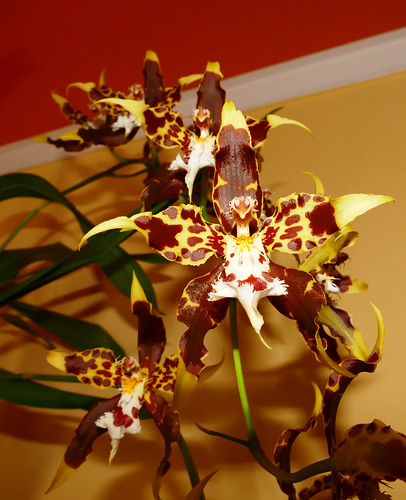 very fragrant, Oncidium hallii orchid species, acquired bare root 7-16, 1st bloom  5-17* | by nolehace