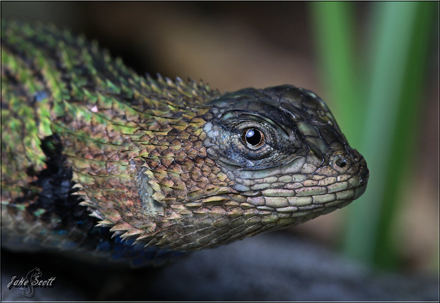 Green Spiny Lizard aka Emerald Swift (Sceloporus malachiticus)