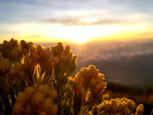nature lumia730 nokia lumia edelweiss javanese merbabu sunrise flower beautiful anaphalis javanica