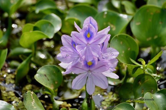 Water Hyacinth at NLAWD
