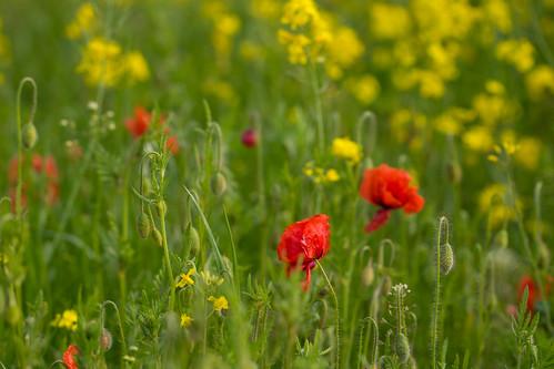 Poppy | by Infomastern