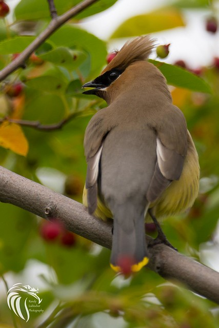The Cedar Waxwing | 2017 - 2