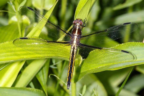 libellula kingskimmer