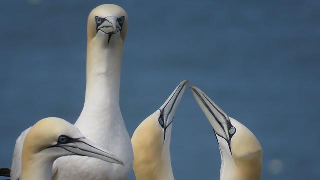 Gannets at Bempton Cliffs