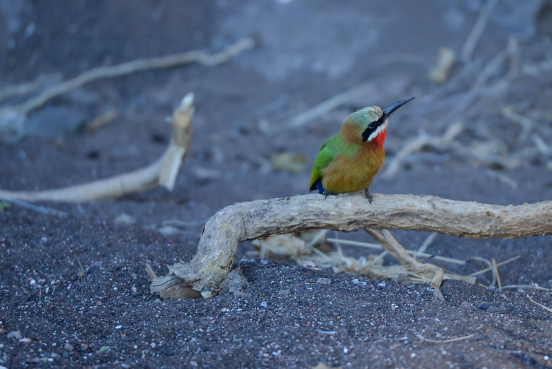 587 White fronted Bee Eater