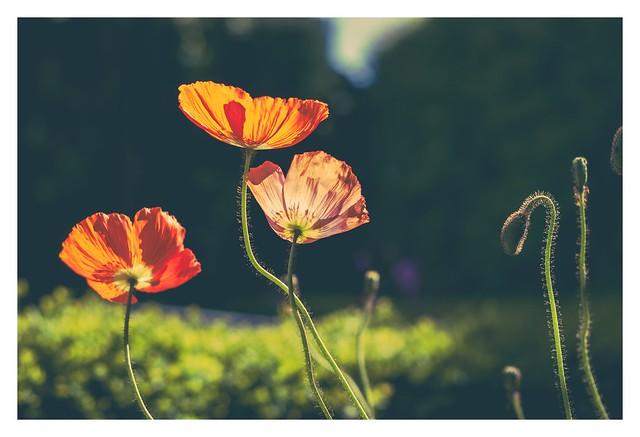 Poppy flower under sun light