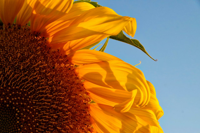 sunflower, blue sky