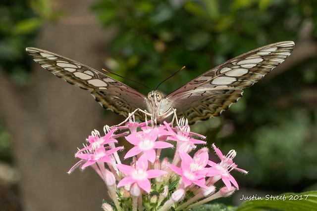Brookside Butterfly 1 '17