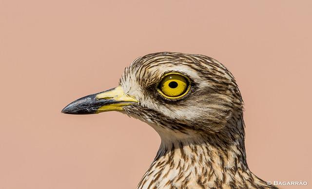 Alcaravão   Stone Curlew   Alcaraván común   Oedicnème criard (Burhinus oedicnemus)