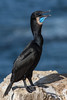 Brandt's Cormorant by Jmawnster