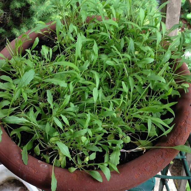 Arugula Microgreens