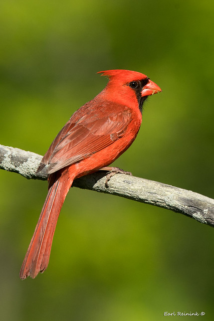 Northern Cardinal (getting ready to sing)
