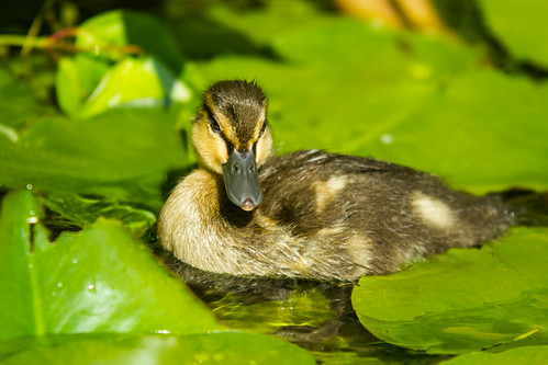 Caneton - Duckling | by pylacroix