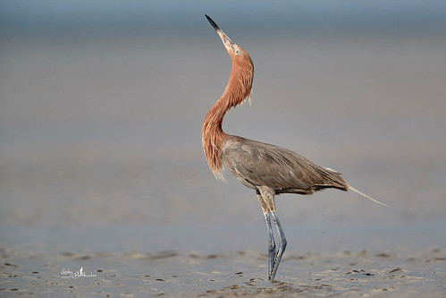 Reddish Egret, South Padre Island, TX | by lesleymattuchio