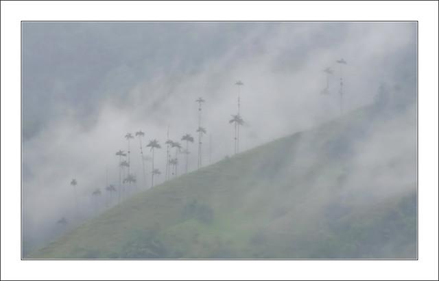 Palmiers à cire dans le mauvais temps