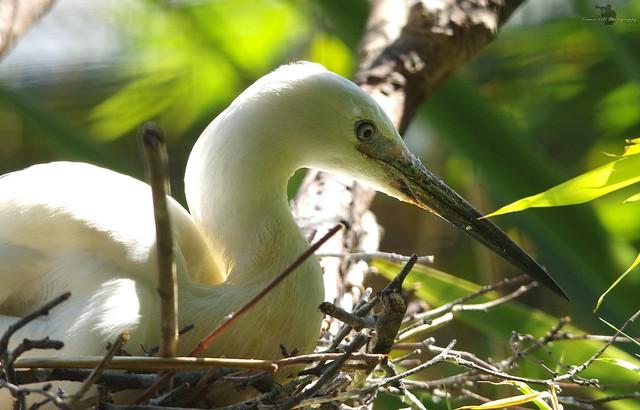 little egret on nest  (1)