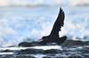 Sooty Oystercatcher - in flight by Free_aza_Bird