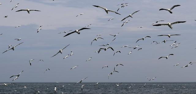 Sky full of Gannets