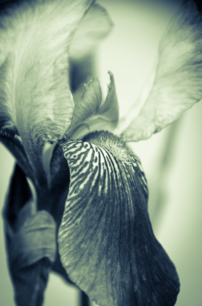Abstract Japanese Iris Delight Nature Photo Abstract Japan
