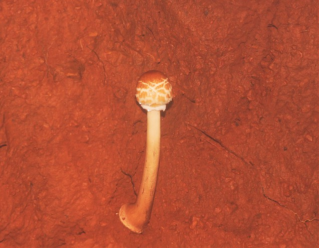 ecosystem/flora/Red Mushroom(Amanita sp.)?