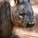 Image: Wombat