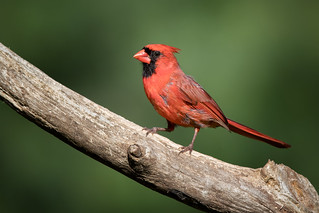 Northern Cardinal | by Rob & Amy Lavoie