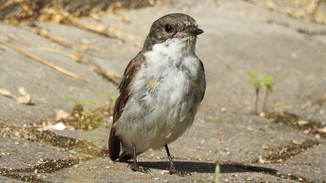 Pied Flycatcher ♂ (Ficedula hypoleuca) juvenile ?
