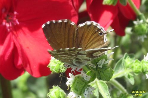 Geranium bronze (MakGi)