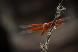 Second Orange Dragonfly | by staticantics