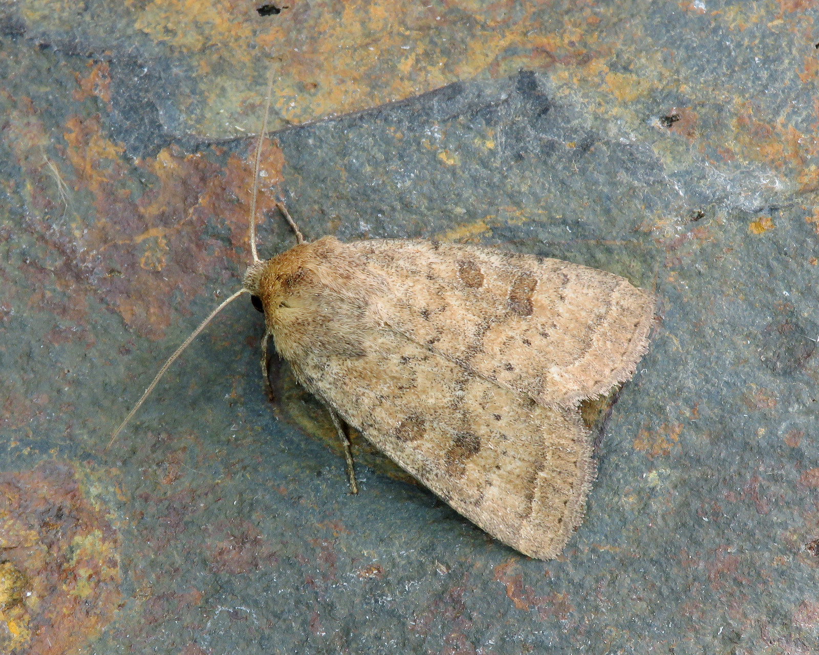 73.096/097 BF2381 Uncertain/Rustic - Hoplodrina octogenaria/blanda agg.