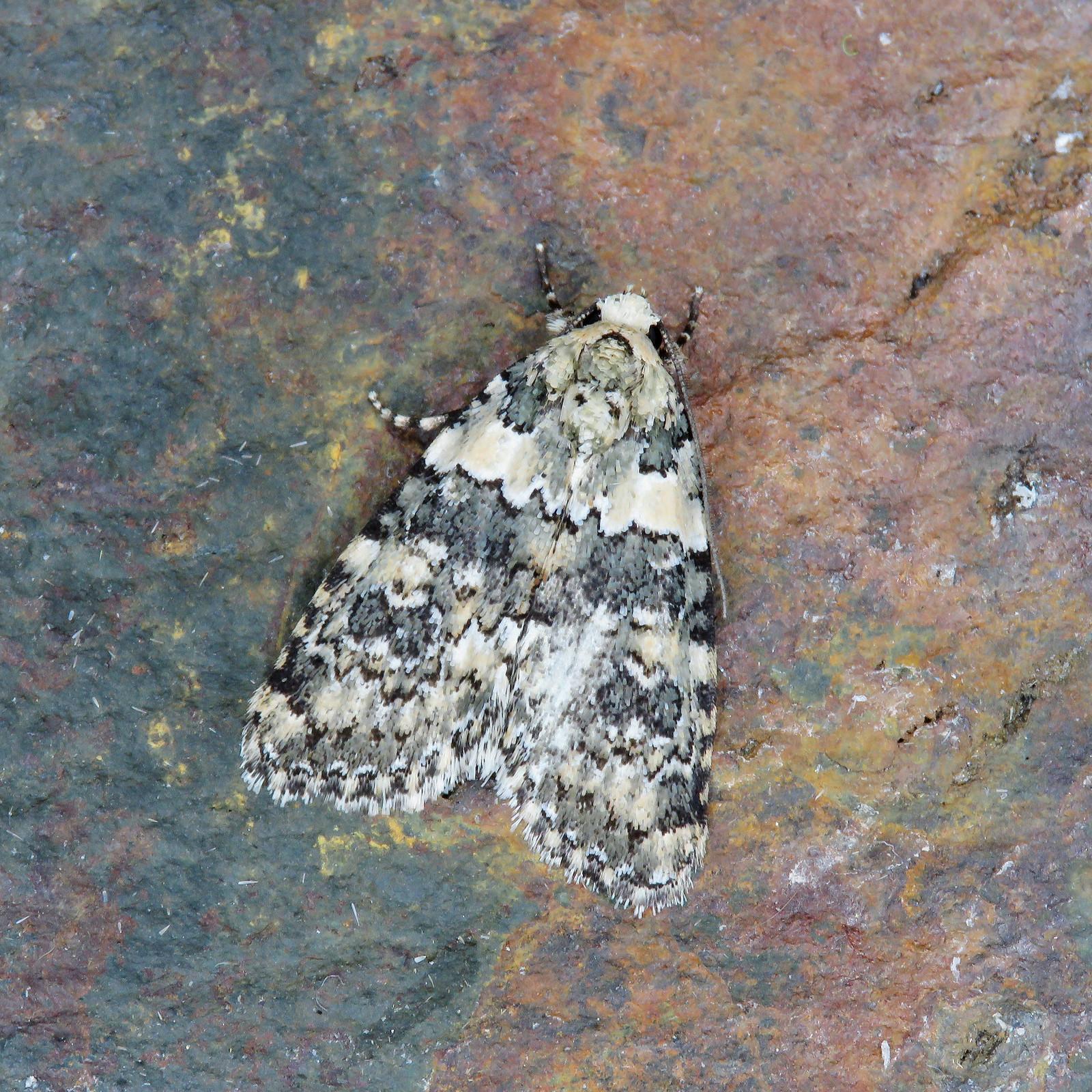 73.084 Marbled Beauty - Bryophila domestica