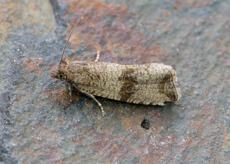 49.161 Barred Marble - Celypha striana