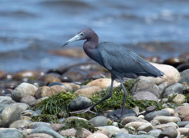 IMG_4736  Little Blue Heron
