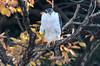 A goshawk in remaining autumn leaves by takashi muramatsu