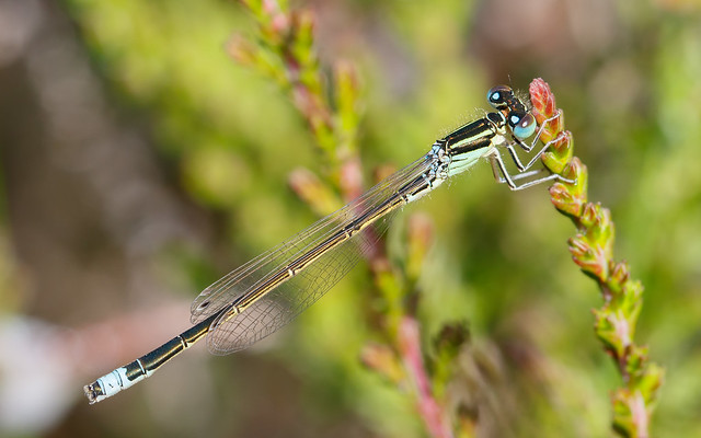 Scarce blue-tailed damselfly m
