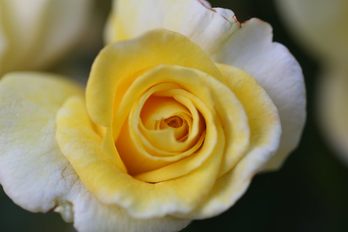 Yellow rose | by Pascal Volk