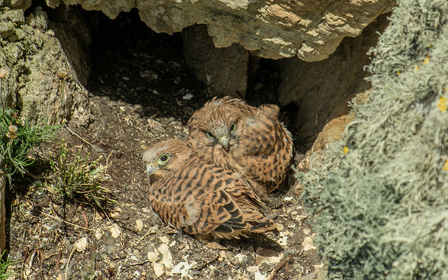 Kestrel Chick With Full Adult Feathers ... Close To Flying